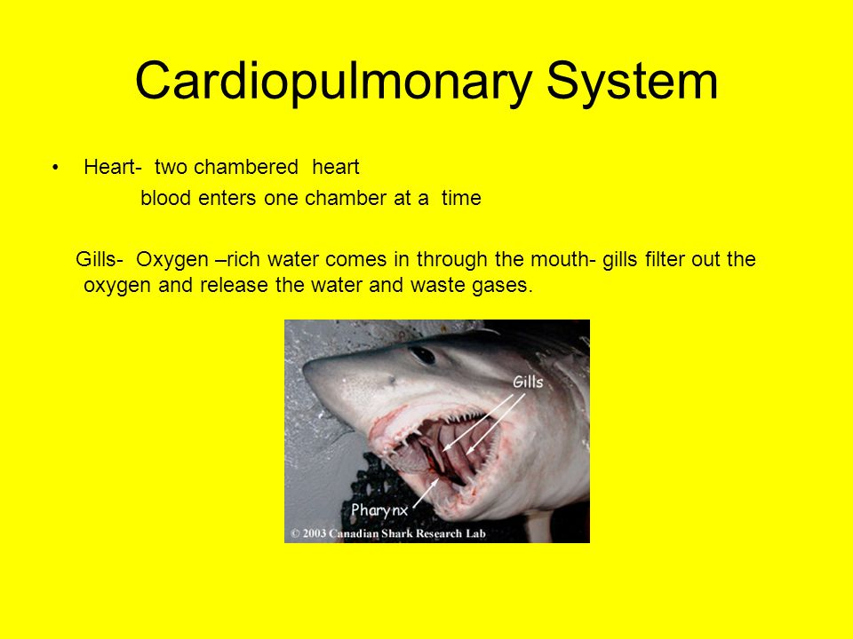 Cardiopulmonary System Heart- two chambered heart blood enters one chamber at a time Gills- Oxygen –rich water comes in through the mouth- gills filter out the oxygen and release the water and waste gases.