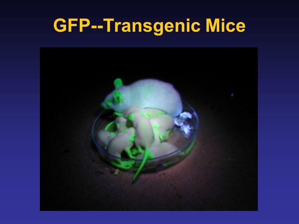 GFP--Transgenic Mice