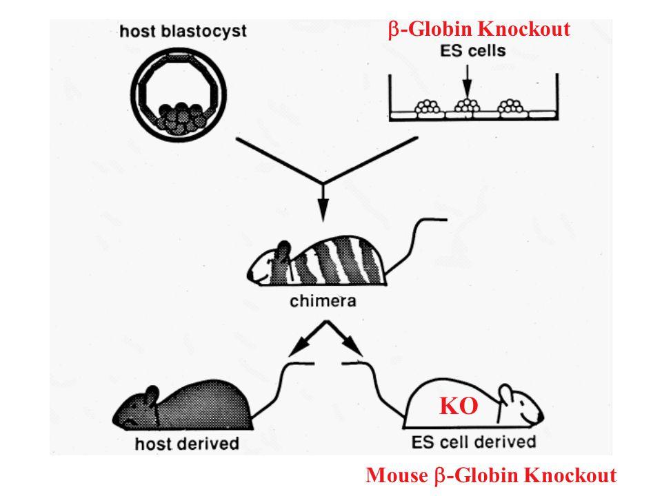 Mouse -Globin Knockout KO -Globin Knockout