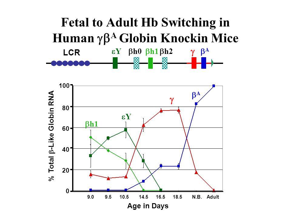 Fetal to Adult Hb Switching in Human A Globin Knockin Mice 9.09.510.514.516.518.5N.B.Adult Age in Days % Total -Like Globin RNA 0 20 40 60 80 100 Y h0