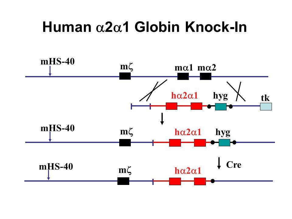 Human 2 1 Globin Knock-In mHS-40 m m 1m 2 mHS-40 m Cre mHS-40 m hyg tk h 2 1 hyg h 2 1