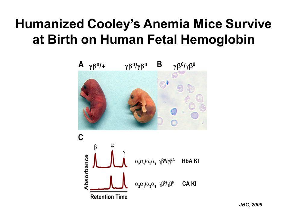 Humanized Cooleys Anemia Mice Survive at Birth on Human Fetal Hemoglobin JBC, 2009 0 /+ 0 / 0 0 / 0