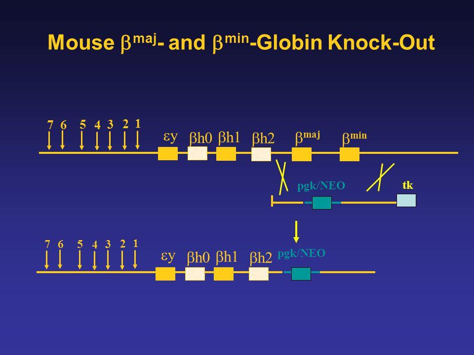 Mouse maj - and min -Globin Knock-Out 1 2 3 4 5 6 7 y h0 h1 h2 maj min 1 2 3 4 5 6 7 y h0 h1 h2 tk pgk/NEO