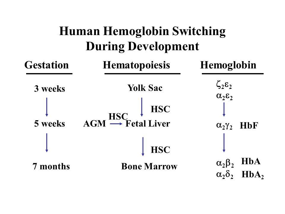 Human Hemoglobin Switching During Development Gestation 2 2 2 2 2 HemoglobinHematopoiesis Yolk Sac HSC Fetal Liver Bone Marrow AGM HSC 3 weeks 5 weeks