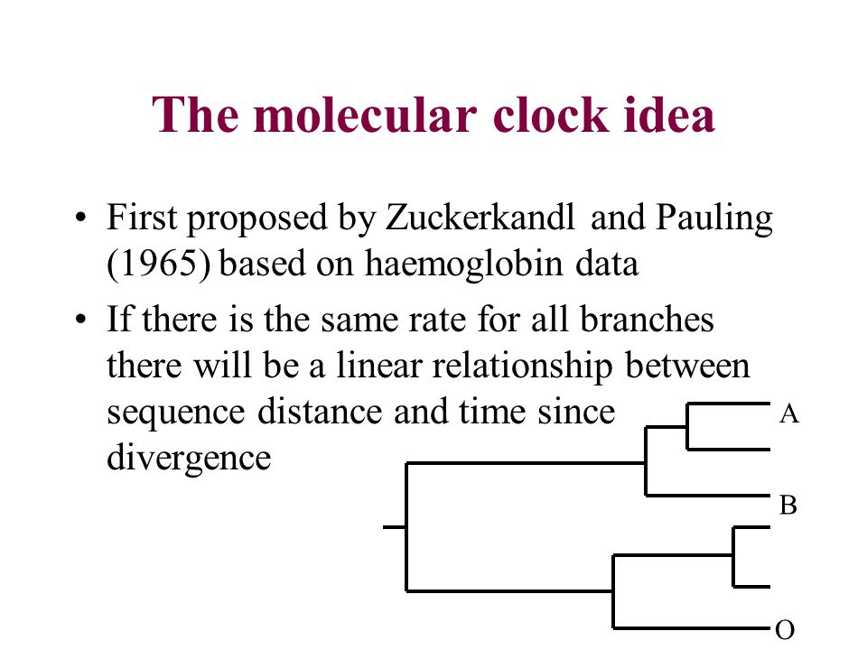 The molecular clock idea First proposed by Zuckerkandl and Pauling (1965) based on haemoglobin data If there is the same rate for all branches there will be a linear relationship between sequence distance and time since divergence O B A