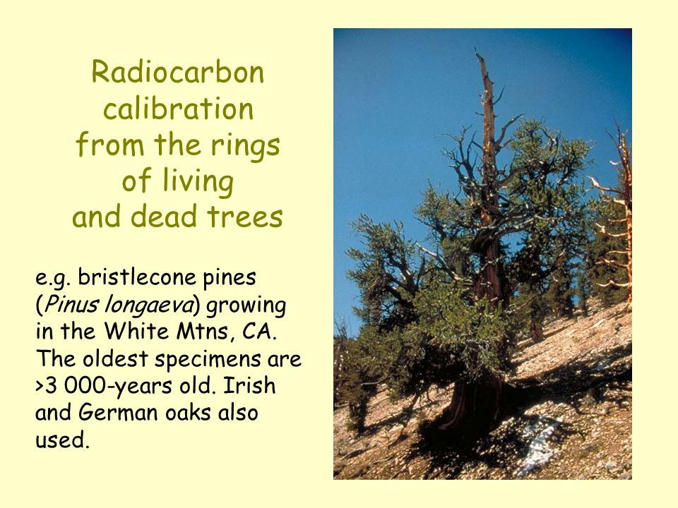 Radiocarbon calibration from the rings of living and dead trees e.g. bristlecone pines (Pinus longaeva) growing in the White Mtns, CA. The oldest spec