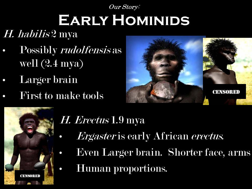 A. afarensis 3.9-2.9 mya Bipedal Lucy 3.2 mya Our Story: Early Hominids A.