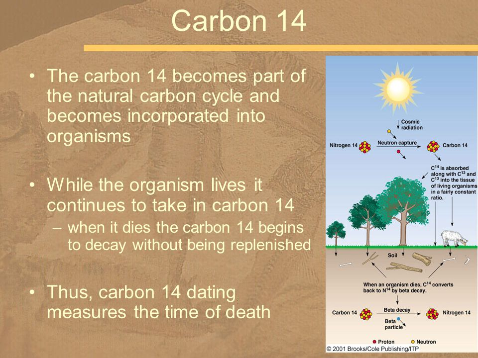 The carbon 14 becomes part of the natural carbon cycle and becomes incorporated into organisms While the organism lives it continues to take in carbon