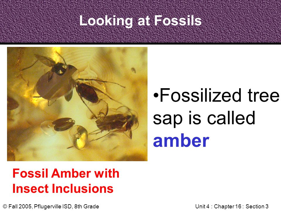 © Fall 2005, Pflugerville ISD, 8th GradeUnit 4 : Chapter 16 : Section 3 Looking at Fossils Fossil Amber with Insect Inclusions Fossilized tree sap is