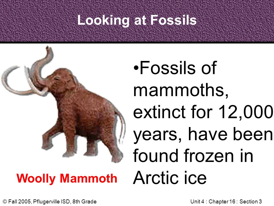 © Fall 2005, Pflugerville ISD, 8th GradeUnit 4 : Chapter 16 : Section 3 Looking at Fossils Woolly Mammoth Fossils of mammoths, extinct for 12,000 year