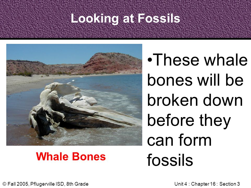 © Fall 2005, Pflugerville ISD, 8th GradeUnit 4 : Chapter 16 : Section 3 Looking at Fossils Whale Bones These whale bones will be broken down before th