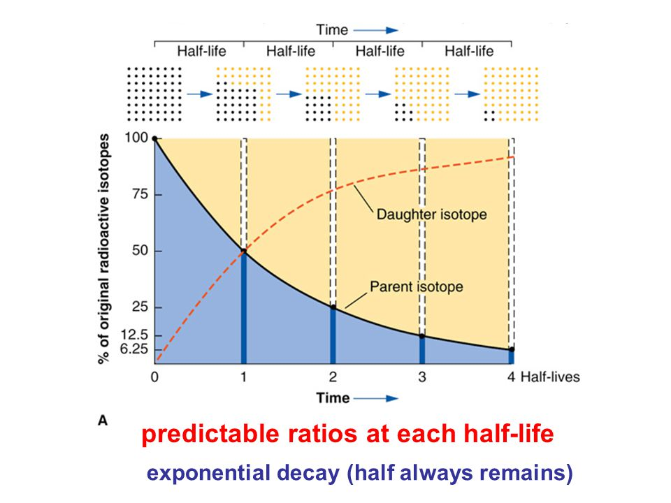 predictable ratios at each half-life exponential decay (half always remains)