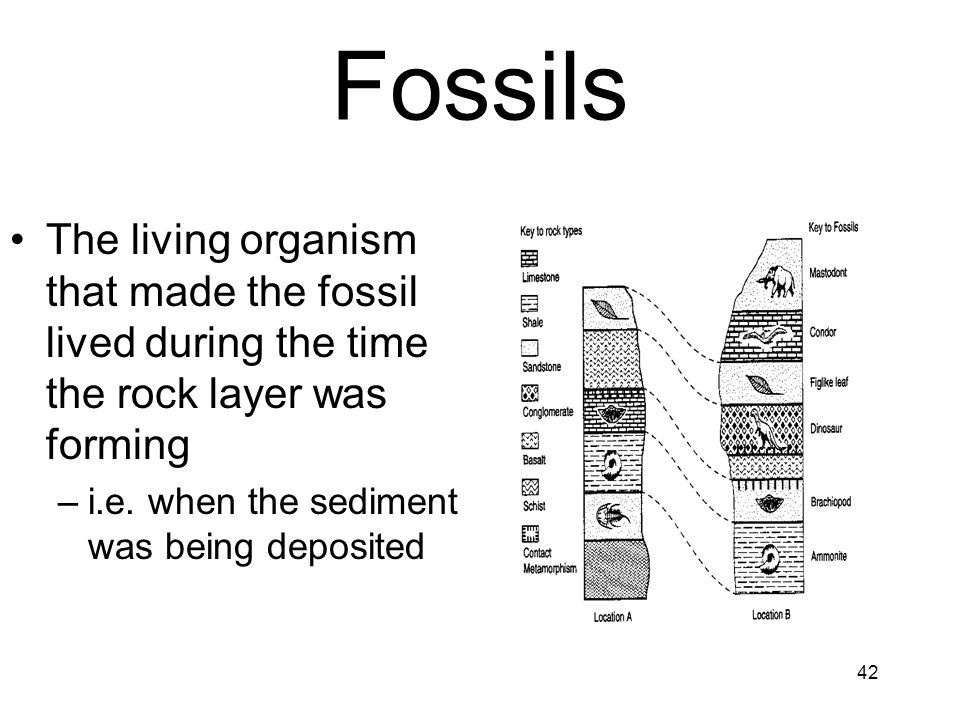 42 Fossils The living organism that made the fossil lived during the time the rock layer was forming –i.e. when the sediment was being deposited