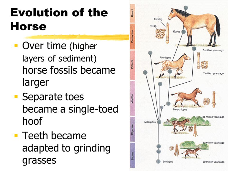Evolution of the Horse Over time (higher layers of sediment) horse fossils became larger Separate toes became a single-toed hoof Teeth became adapted