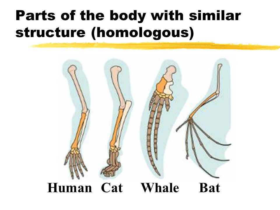 Parts of the body with similar structure (homologous) BatWhaleCatHuman