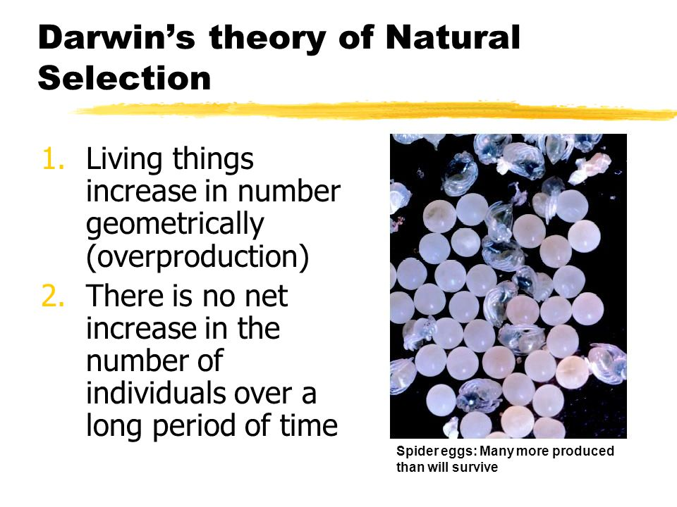 Darwins theory of Natural Selection 1.Living things increase in number geometrically (overproduction) 2.There is no net increase in the number of indi