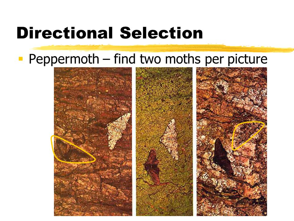 Directional Selection Peppermoth – find two moths per picture