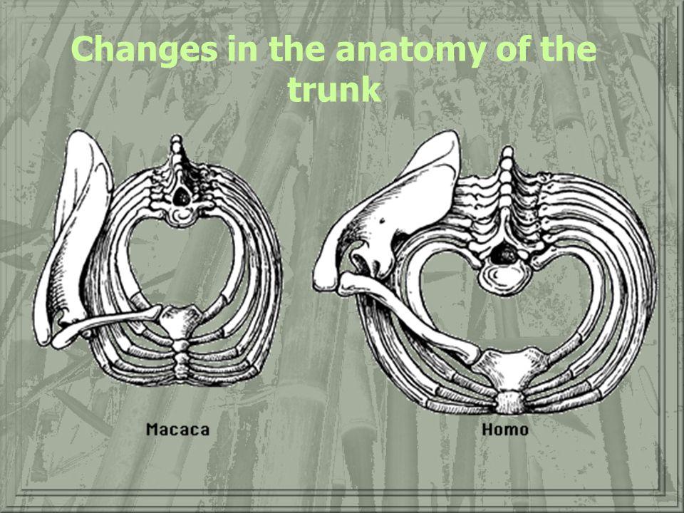 Axial Skeleton (Trunk) of OW Primates