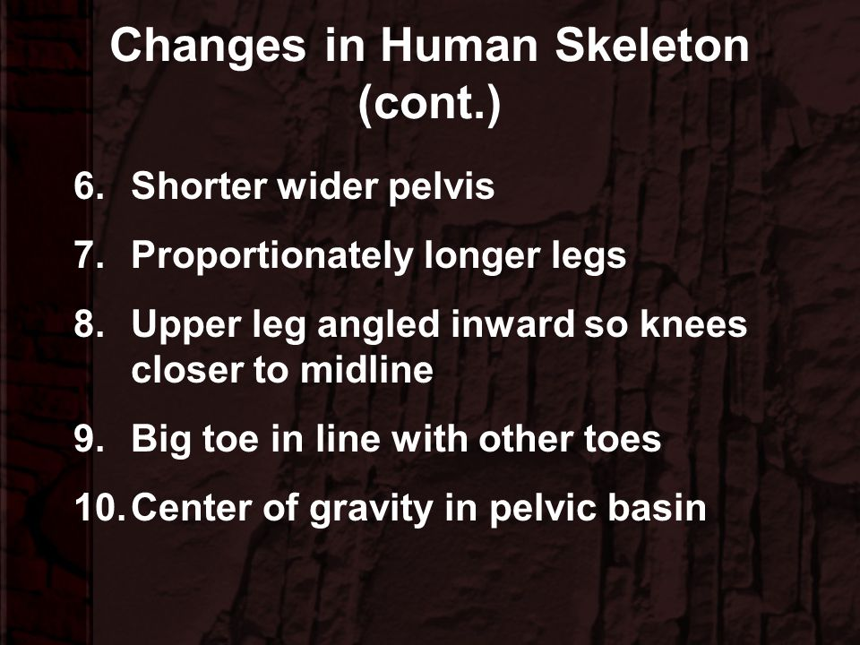 Changes in Human Skeleton 1.Skull more balanced on spine 2.Smaller neck muscles 3.Spine articulates under skull 4.Multiple curves of spine 5.Narrower