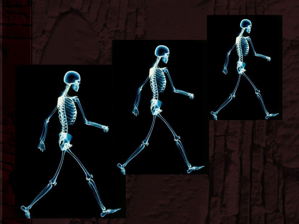 Changes in Human Skeleton (cont.) 6.Shorter wider pelvis 7.Proportionately longer legs 8.Upper leg angled inward so knees closer to midline 9.Big toe