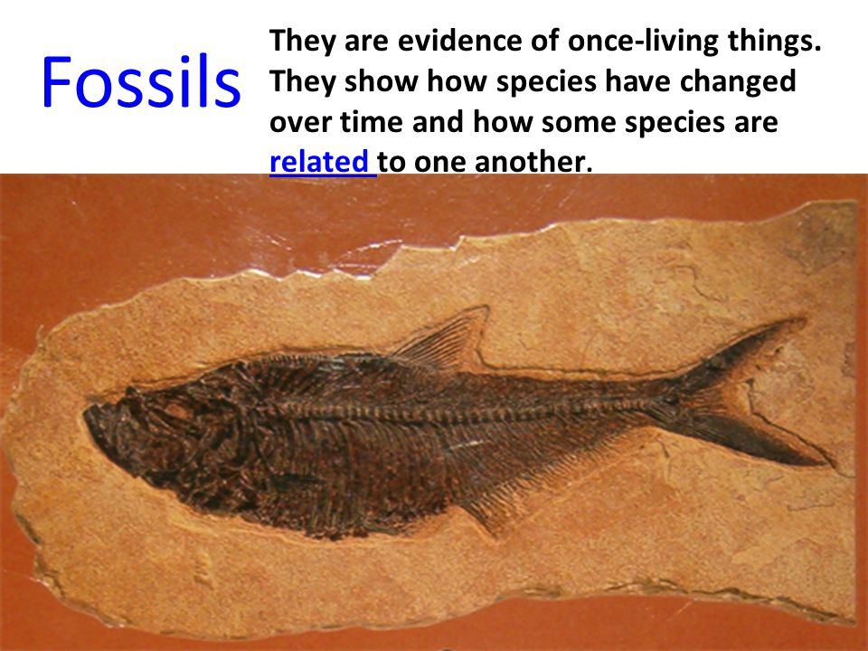 Fossils They are evidence of once-living things. They show how species have changed over time and how some species are related to one another.