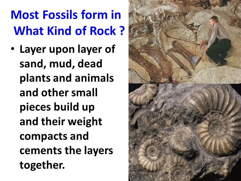 Most Fossils form in What Kind of Rock ? Layer upon layer of sand, mud, dead plants and animals and other small pieces build up and their weight compa