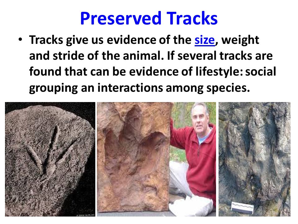 Preserved Tracks Tracks give us evidence of the size, weight and stride of the animal. If several tracks are found that can be evidence of lifestyle:
