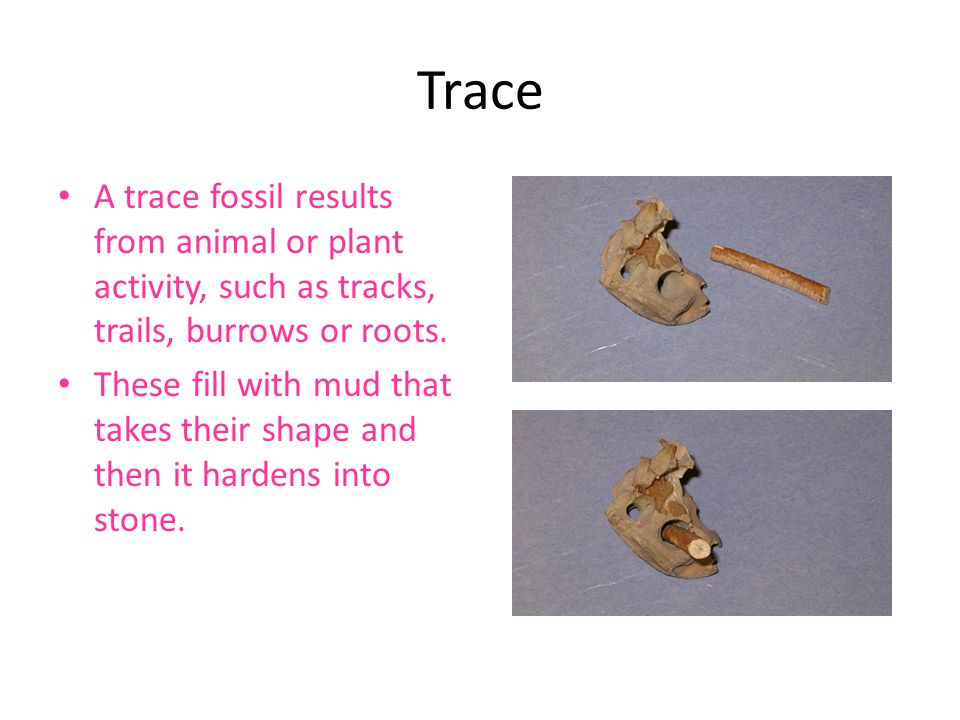 Trace A trace fossil results from animal or plant activity, such as tracks, trails, burrows or roots. These fill with mud that takes their shape and t