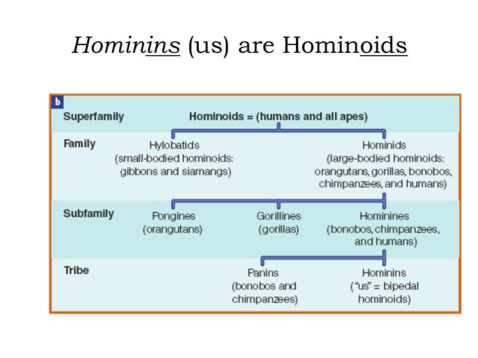 Hominins (us) are Hominoids