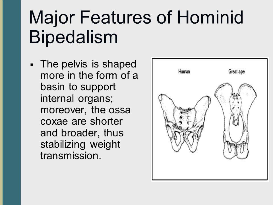Major Features of Hominid Bipedalism The pelvis is shaped more in the form of a basin to support internal organs; moreover, the ossa coxae are shorter