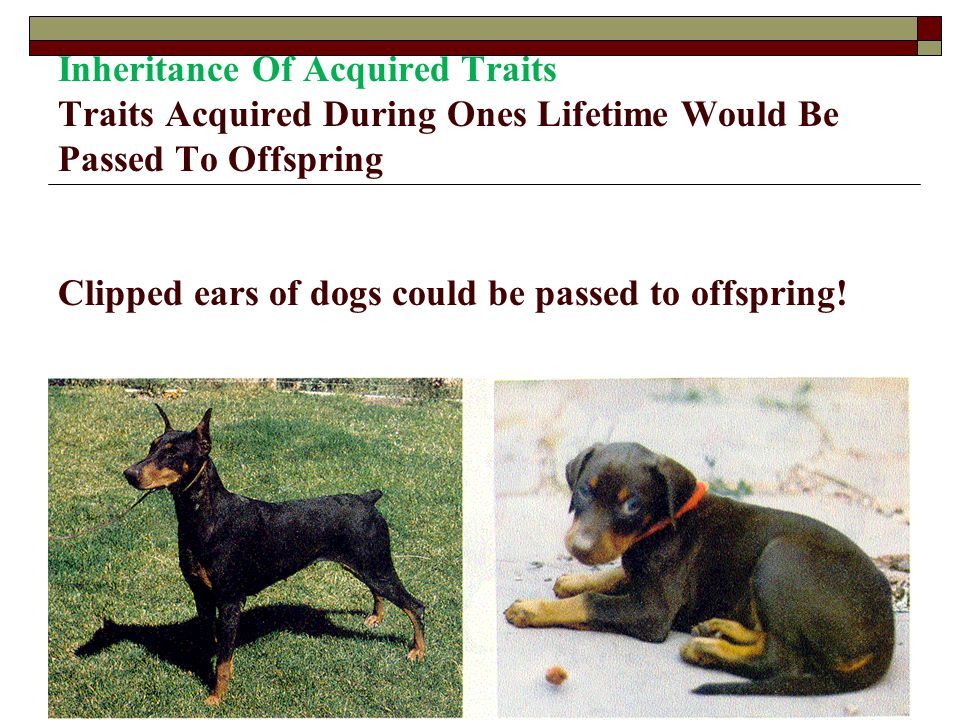 Inheritance Of Acquired Traits Traits Acquired During Ones Lifetime Would Be Passed To Offspring Clipped ears of dogs could be passed to offspring!