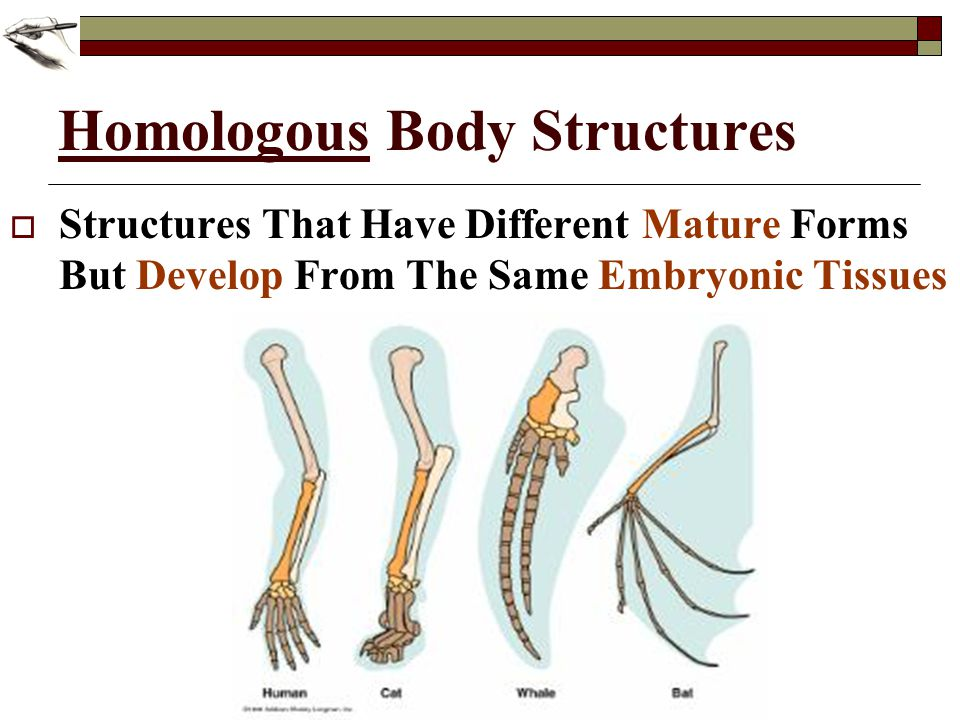 Homologous Body Structures Structures That Have Different Mature Forms But Develop From The Same Embryonic Tissues