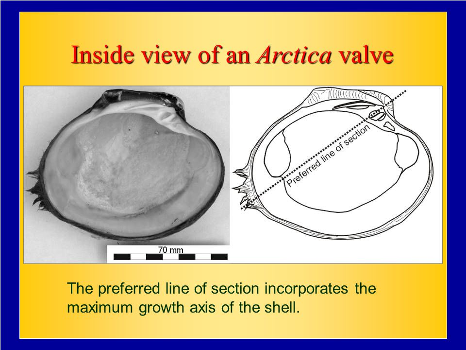 Inside view of an Arctica valve The preferred line of section incorporates the maximum growth axis of the shell.
