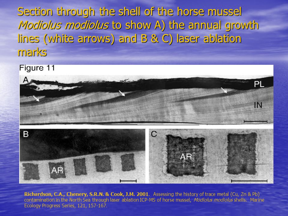 Section through the shell of the horse mussel Modiolus modiolus to show A) the annual growth lines (white arrows) and B & C) laser ablation marks Richardson, C.A., Chenery, S.R.N.