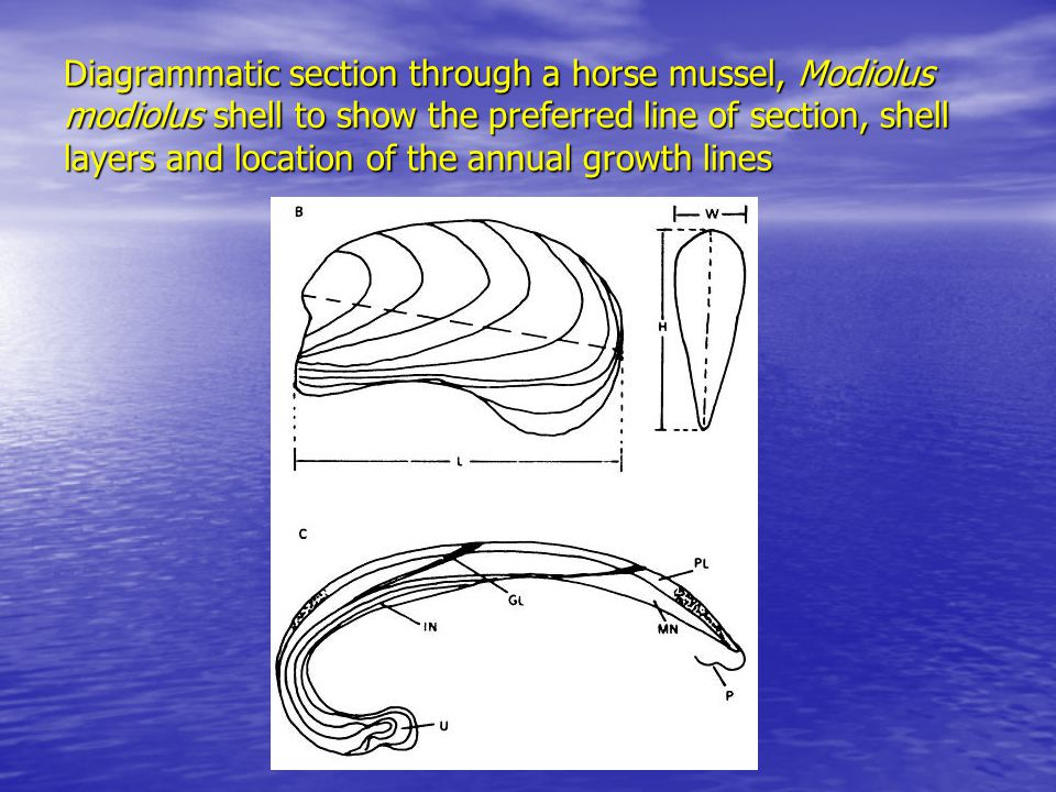 Diagrammatic section through a horse mussel, Modiolus modiolus shell to show the preferred line of section, shell layers and location of the annual growth lines