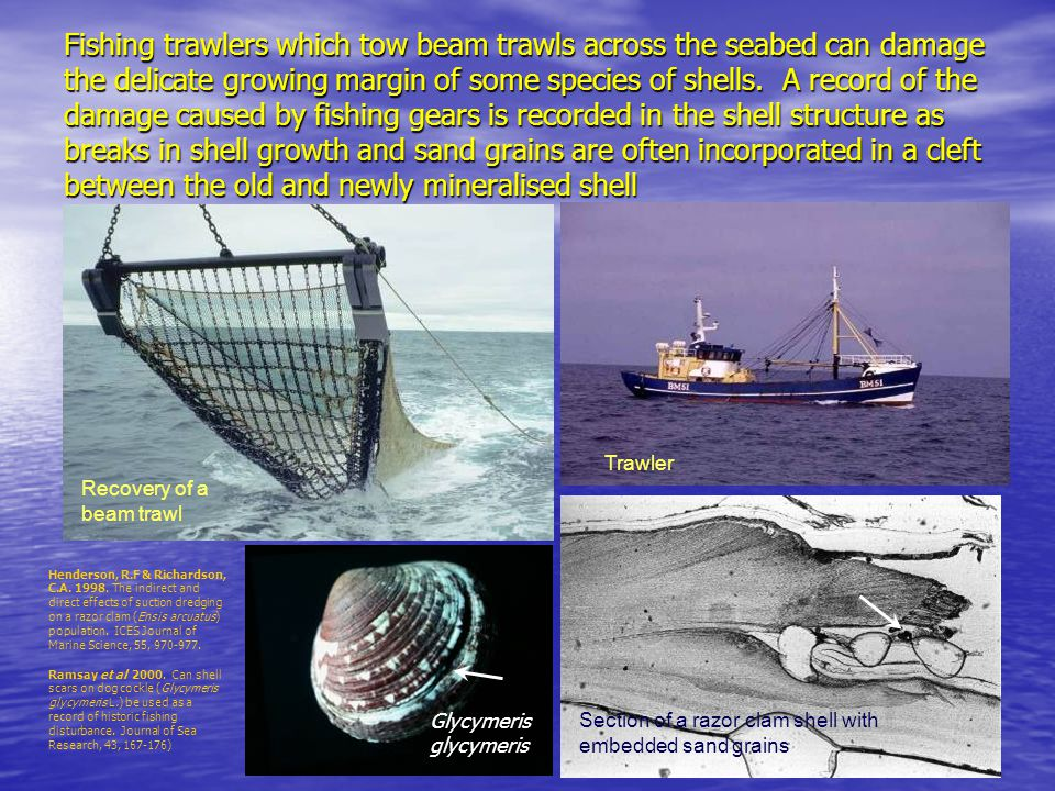 Fishing trawlers which tow beam trawls across the seabed can damage the delicate growing margin of some species of shells.