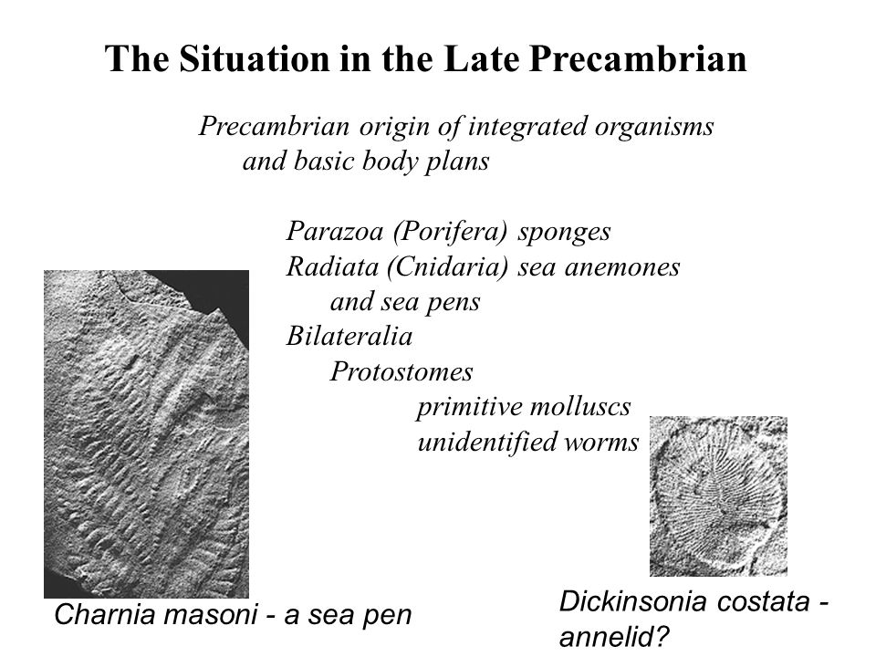 The Situation in the Late Precambrian Precambrian origin of integrated organisms and basic body plans Parazoa (Porifera) sponges Radiata (Cnidaria) se