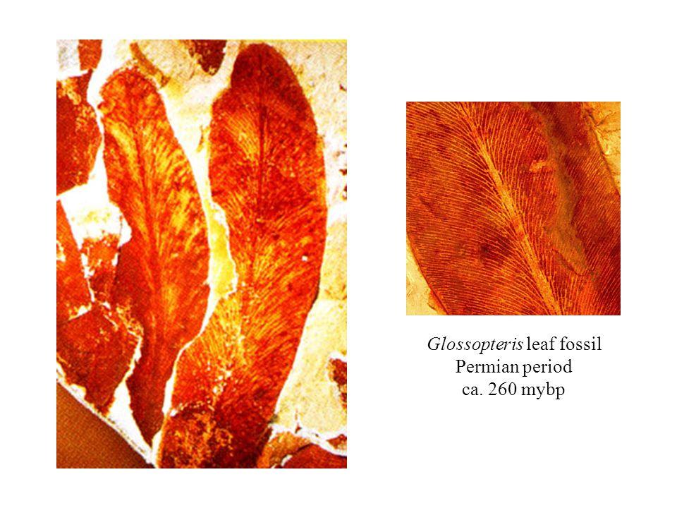 Glossopteris leaf fossil Permian period ca. 260 mybp