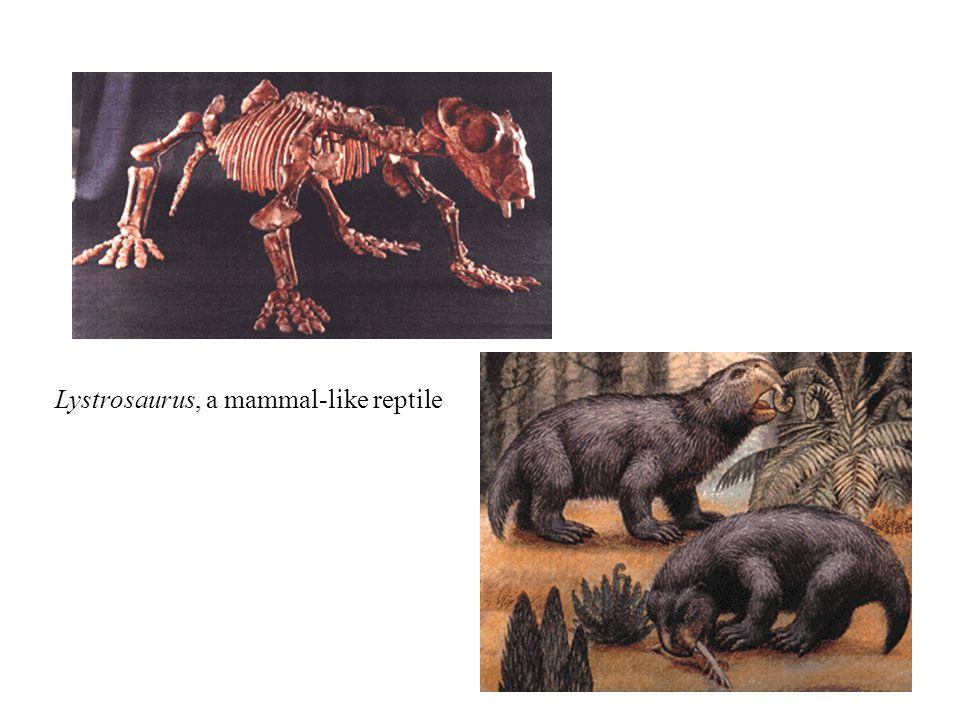 Lystrosaurus, a mammal-like reptile