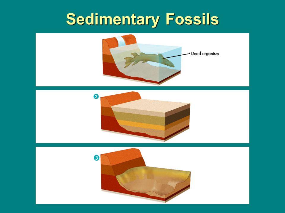 Sedimentary Fossils