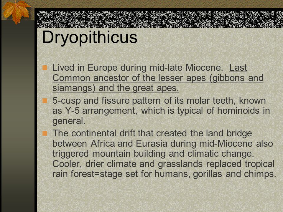 Dryopithicus Lived in Europe during mid-late Miocene. Last Common ancestor of the lesser apes (gibbons and siamangs) and the great apes. 5-cusp and fi