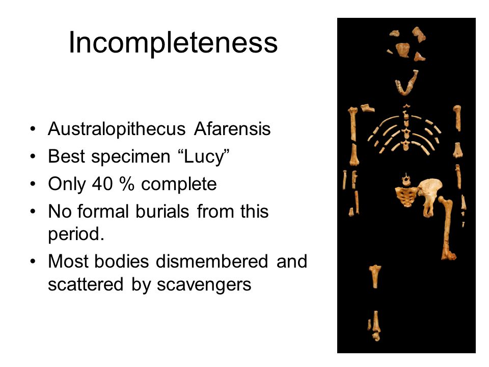 Incompleteness Australopithecus Afarensis Best specimen Lucy Only 40 % complete No formal burials from this period. Most bodies dismembered and scatte