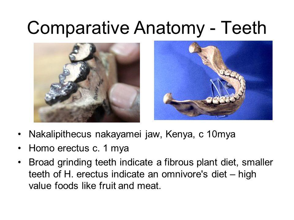 Comparative Anatomy - Teeth Nakalipithecus nakayamei jaw, Kenya, c 10mya Homo erectus c. 1 mya Broad grinding teeth indicate a fibrous plant diet, sma