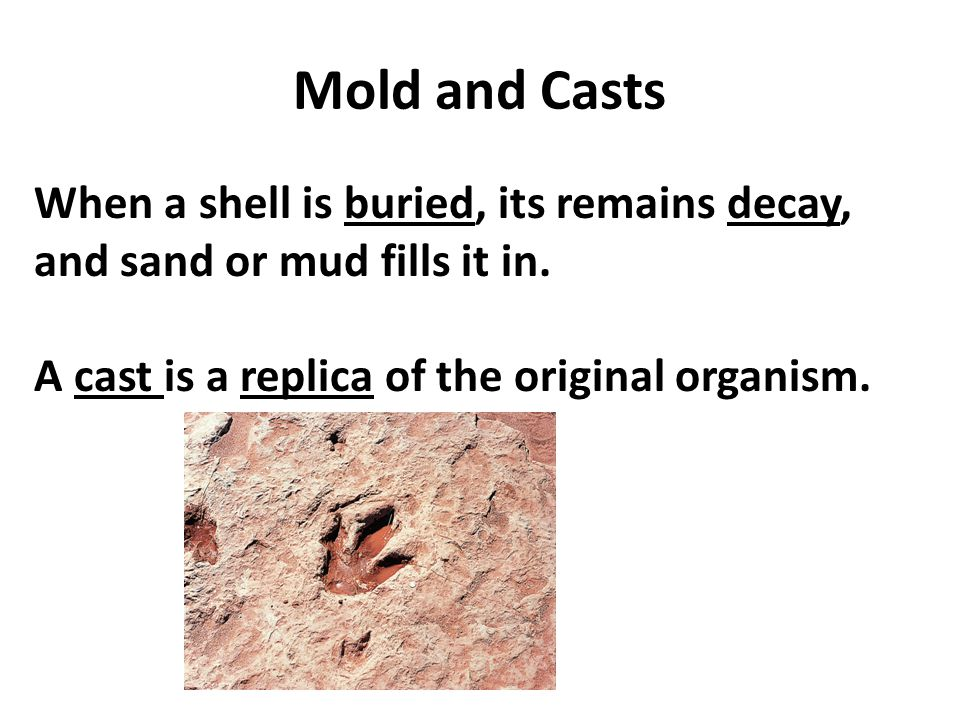 Mold and Casts When a shell is buried, its remains decay, and sand or mud fills it in. A cast is a replica of the original organism.
