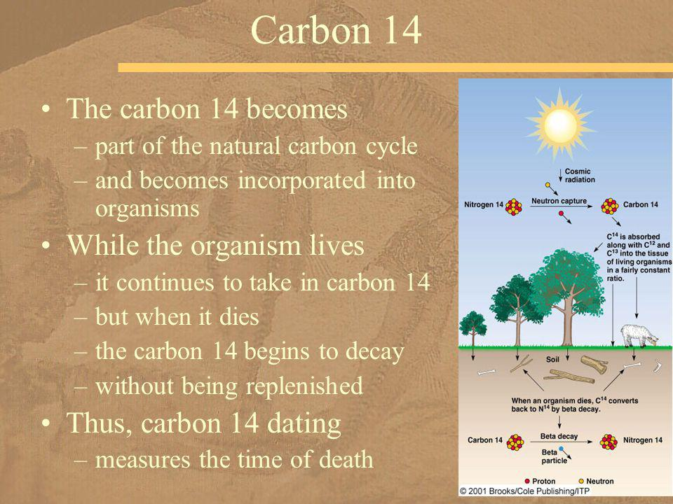 The carbon 14 becomes –part of the natural carbon cycle –and becomes incorporated into organisms While the organism lives –it continues to take in car