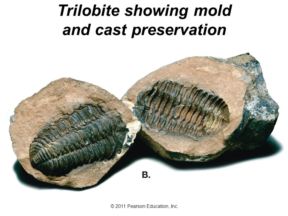 © 2011 Pearson Education, Inc. Trilobite showing mold and cast preservation