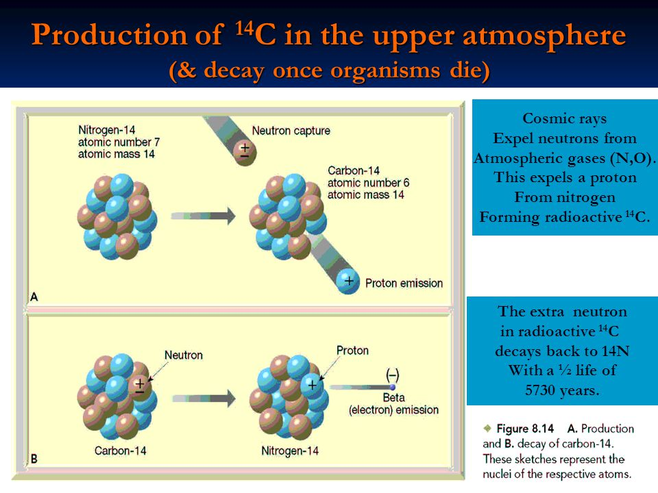 Production of 14 C in the upper atmosphere (& decay once organisms die) Cosmic rays Expel neutrons from Atmospheric gases (N,O).