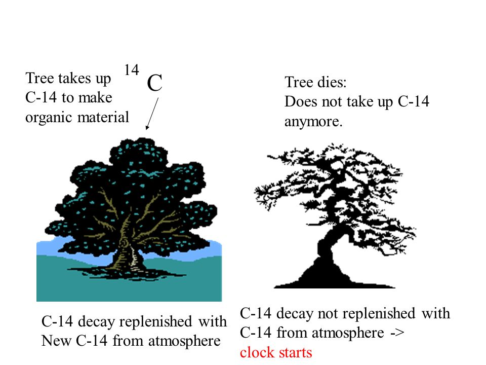 14 C Tree takes up C-14 to make organic material Tree dies: Does not take up C-14 anymore.