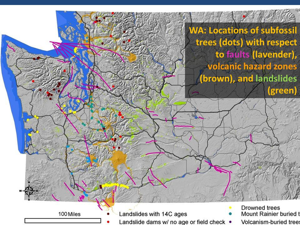 WA: Locations of subfossil trees (dots) with respect to faults (lavender), volcanic hazard zones (brown), and landslides (green) Graphic by Pat Pringle