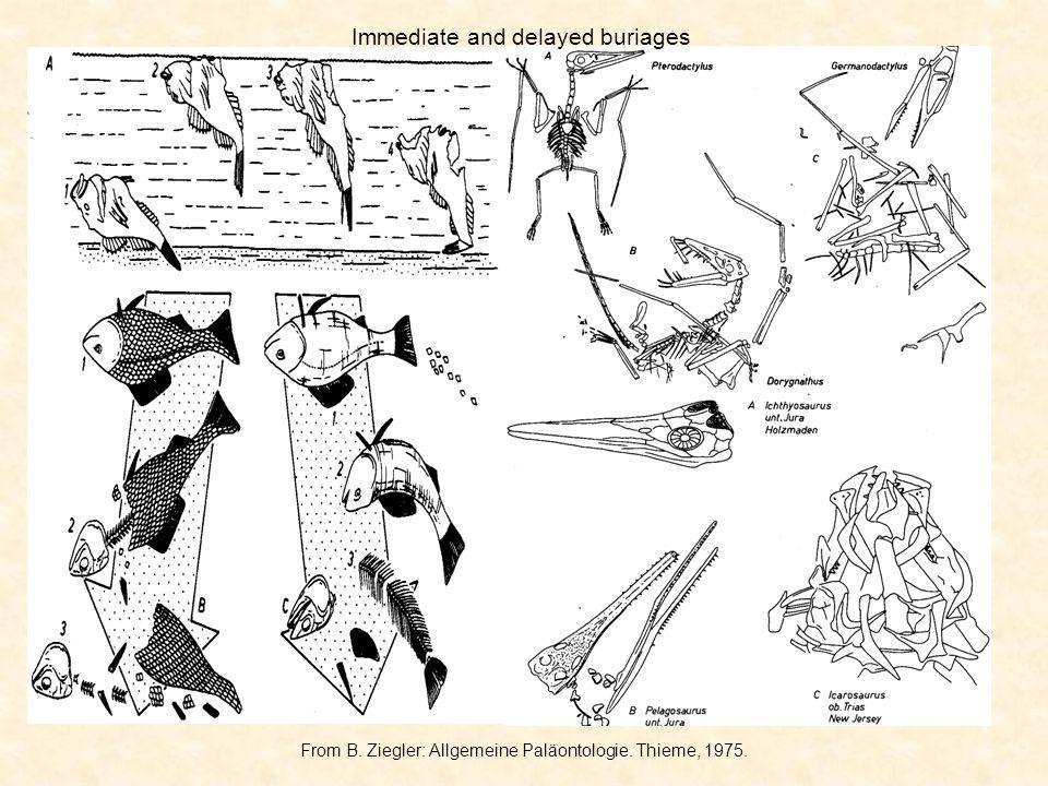 From B. Ziegler: Allgemeine Paläontologie. Thieme, 1975. Immediate and delayed buriages